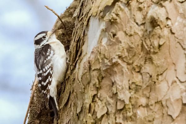 Woodpecker by GGAB