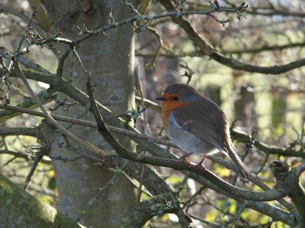 restful robin by effers