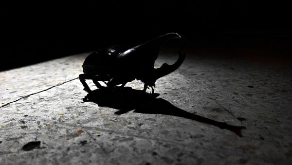 Rhinoceros beetle at night by pptbudi