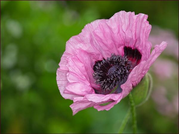 A 4ft Poppy by Tony_Baloni