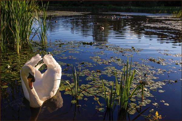 My Friend, Mr Swan by Tony_Baloni