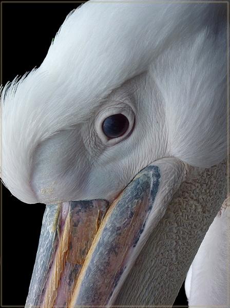 pretty pelicans by CarolG