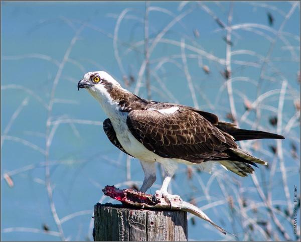 Osprey by GeorgeP
