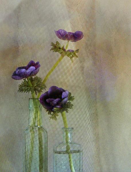 Three Blue Anemones by helenlinda
