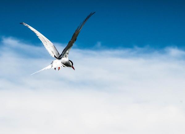 Angry Tern by Osool