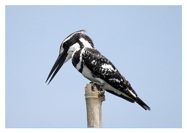 Pied Kingfisher by prabhusinha