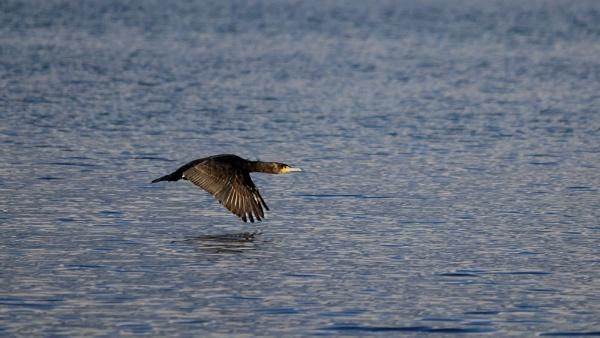 Cormorant in flight by Nouche