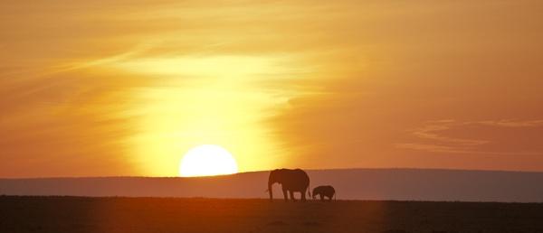 Elephants at dawn by rontear