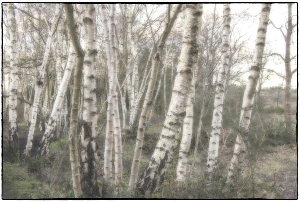 Winter birches by dawnstorr