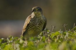 Juvinile Sparrowhawk