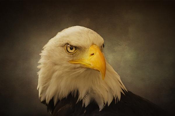 Eagle Portrait by Audran