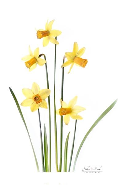 Spring Daffodils by jackyp