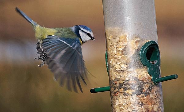 A blue Tit in flight. by sidnox