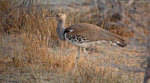 Female Kori Bustard, Etosha N.P., Namibia by brian17302