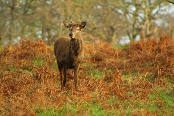 Solitary Deer by micksurrey
