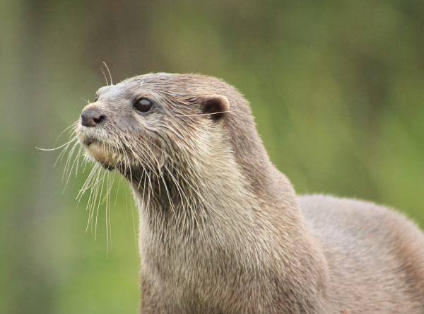 Musa, Asian Short Clawed Otter by Fernowl