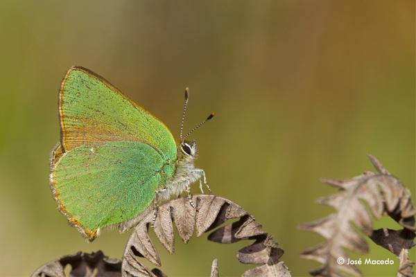 Green hairstreak, Callophrys rubi by lord_macedo