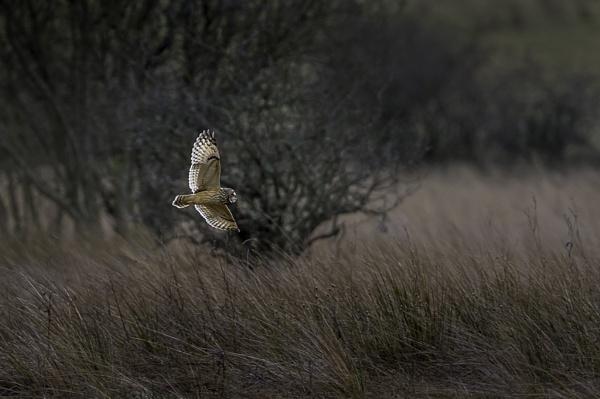 Short Eared Owl. by Ghost_Studio
