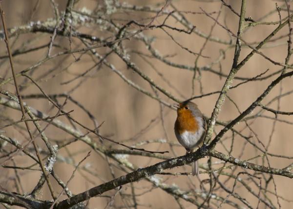 Robin Singing by CanonRebecca22