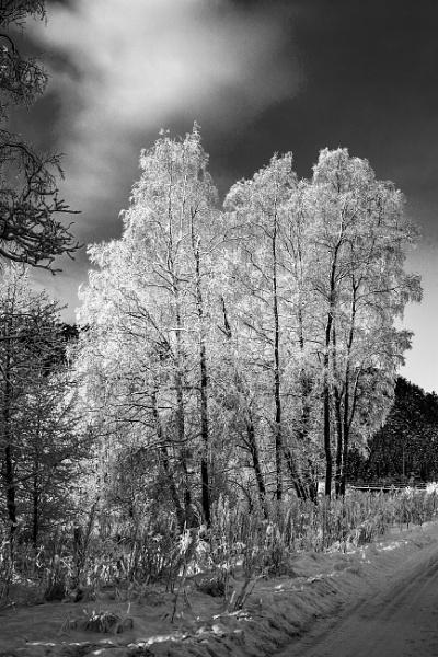 Frozen birch by thoresan