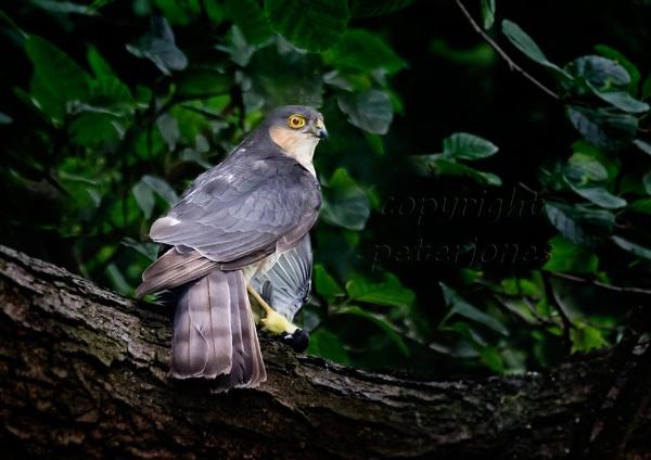 Female Sparrowhawk with prey by peterjones