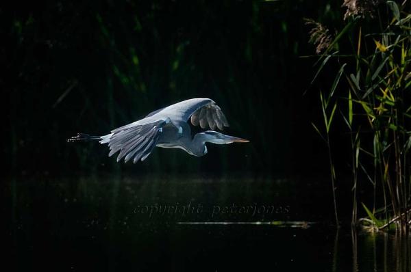 Grey Heron in flight by peterjones