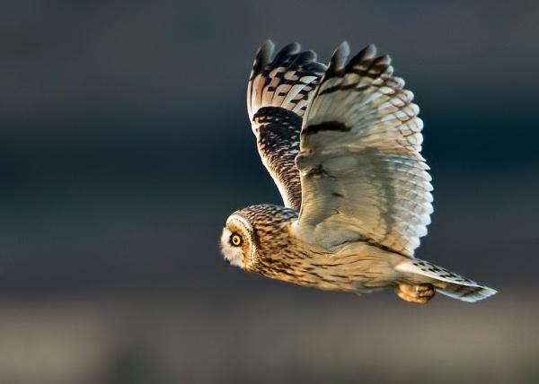 Short-eared Owl (Asio flammeus) by DerekL