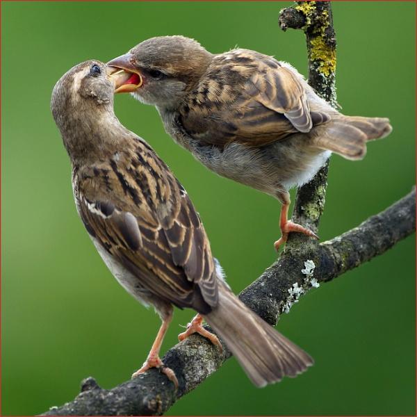 Sparrows by Tony_Baloni