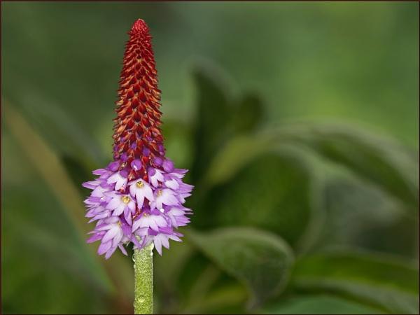Primula by Tony_Baloni