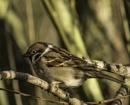 tree sparrow by madbob