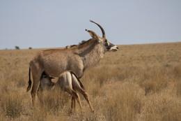 Gemsbok and calf