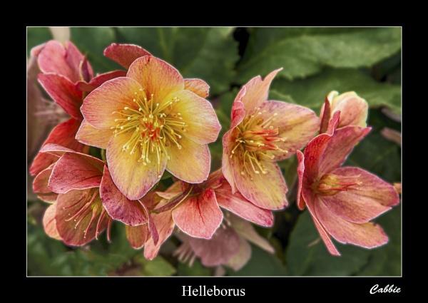Helleborus by cabbie