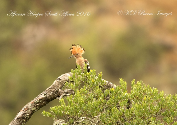 African Hoopoe by BURNSIE