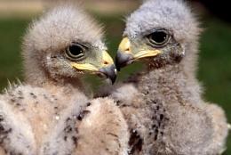 Juvenile Harris Hawks