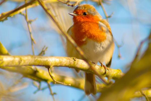 Bright & Sunny Robin by cyprytinca