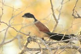 Burchell's Coucal - Kruger National Park