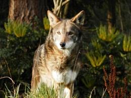Red Wolf, Pr. Defiance Zoo, Tacoma, WA