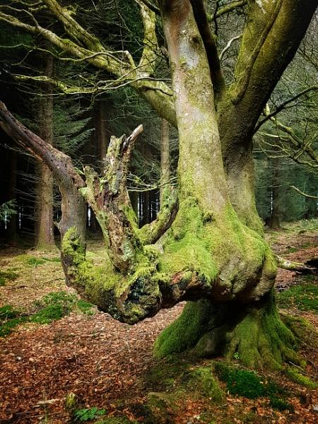 Ancient Beech Tree by Lightthouseman