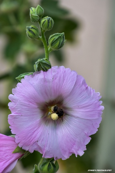 Big pink hollyhock flower and vistor by Ayoob