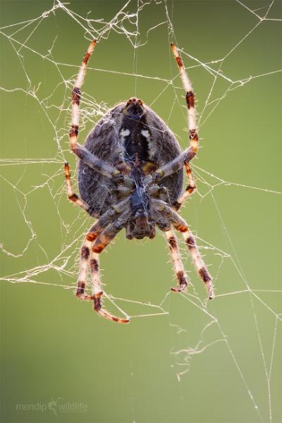 Garden Spider - Araneus diadematus by Mendipman