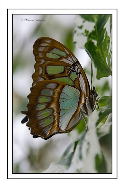 Malachite butterfly by vivdy