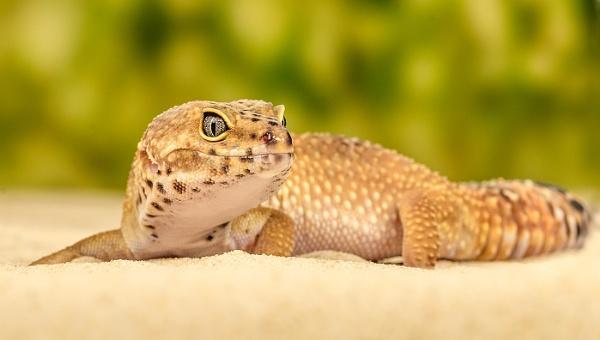 Leopard Gecko by titchpics