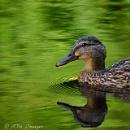 Duck a l'Green by tony_hoops