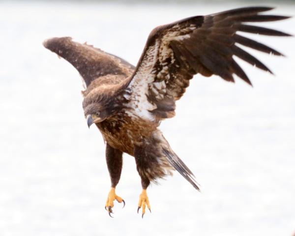 Eagle Jr Parachute by tonyguitar