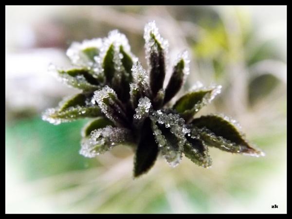 Snowy Elderberry leaves by Mototaur