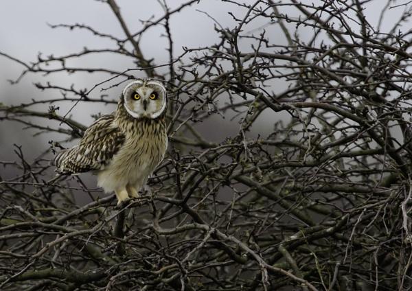 Short Eared Owl by Ghost_Studio