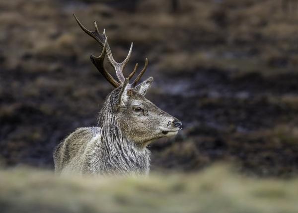 Red Deer Stag by Ghost_Studio