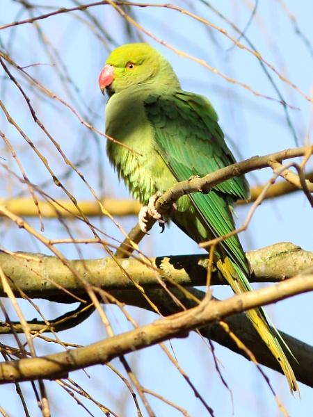 Ring-necked Parakeet--Psittacula krameri. by bobpaige1