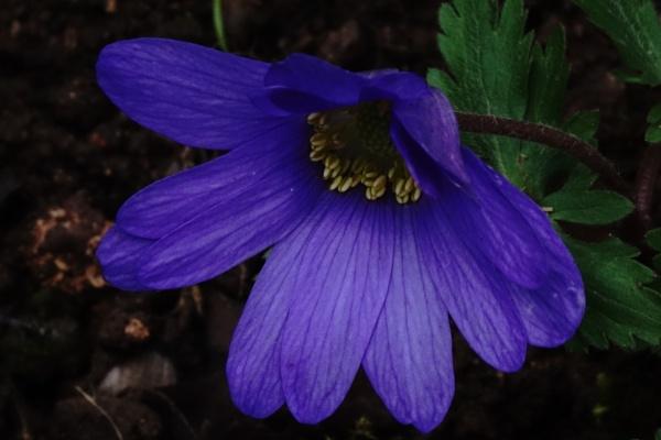 Anemone blanda by frogs123