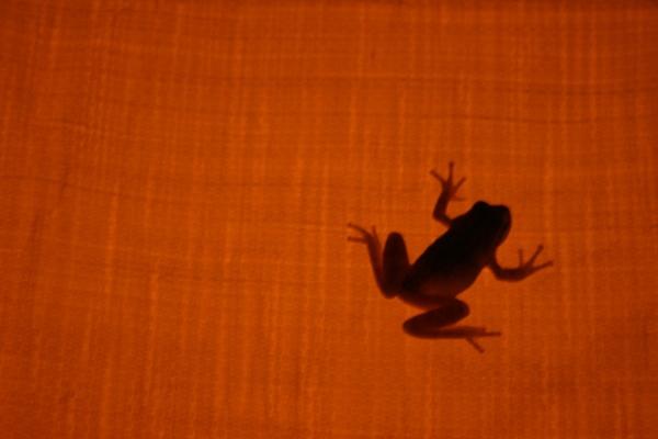 Transparent frog by NICharlie